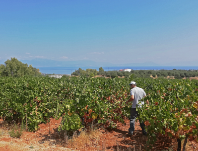 AGENSO partners visited the Olivearts experimental vineyard field